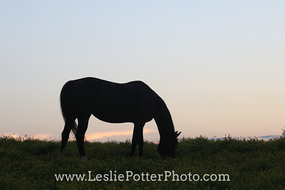Silhouette of a Horse Grazing at Sunset