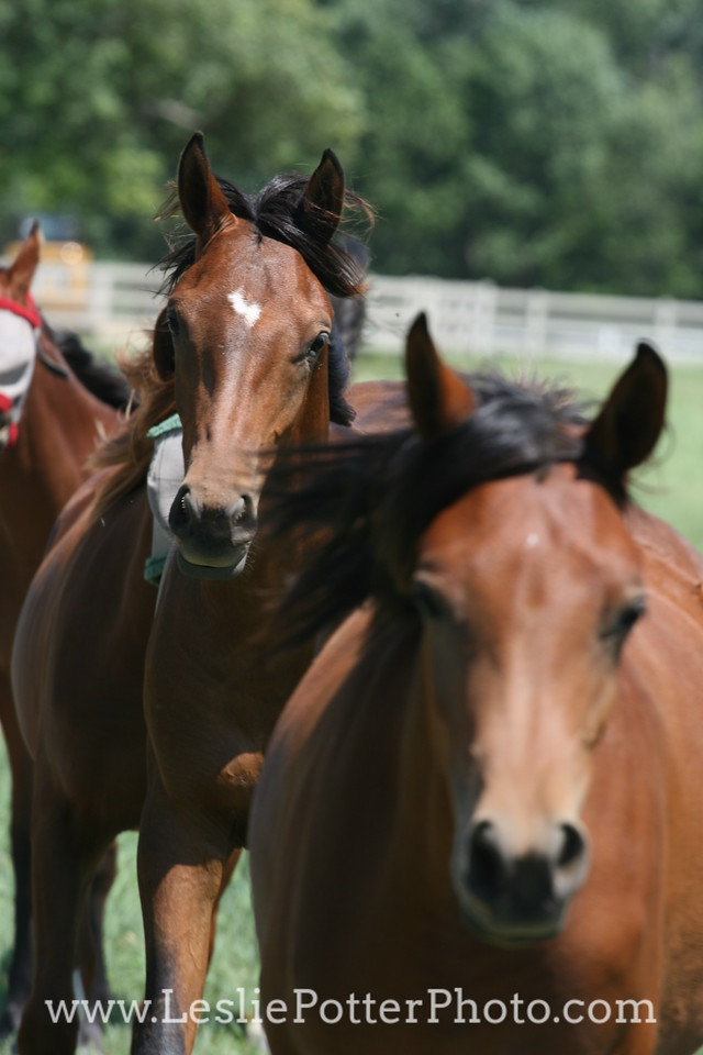 Yearling Arabian Horses
