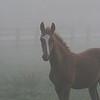 Saddlebred Foal in the Fog