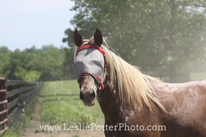 Flaxen Chestnut Horse Wearing a Fly Mask