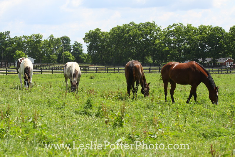 Horses Grazing in Pasture