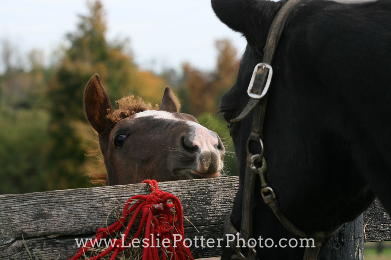 Foal Looking Over the Fence