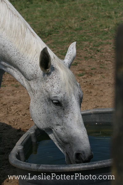 Horse Drinking from a Water Trough
