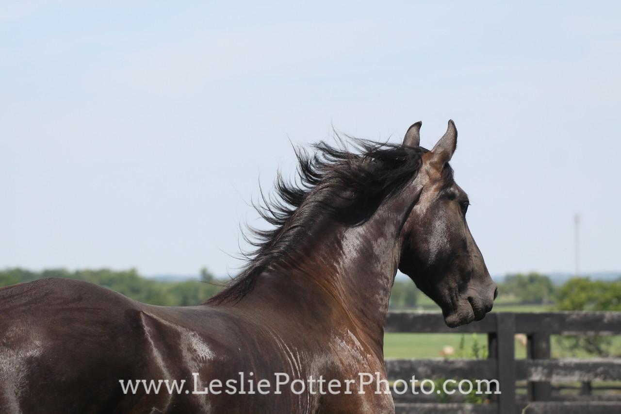 Black Friesian Horse Running in Field