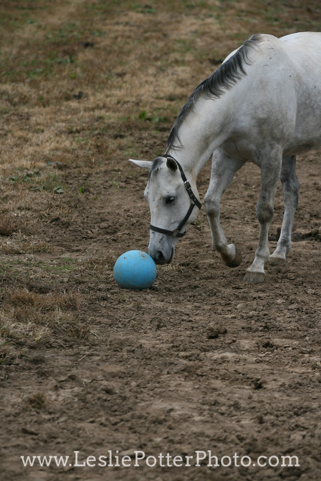 Gray Horse Playing with a Pasture Toy