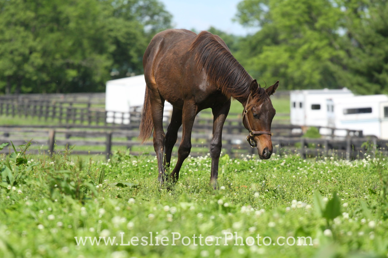 Yearling Horse in Pasture