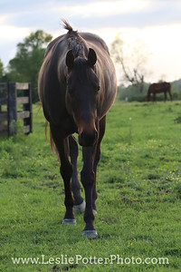 Bay Thoroughbred in the Pasture at Sunset