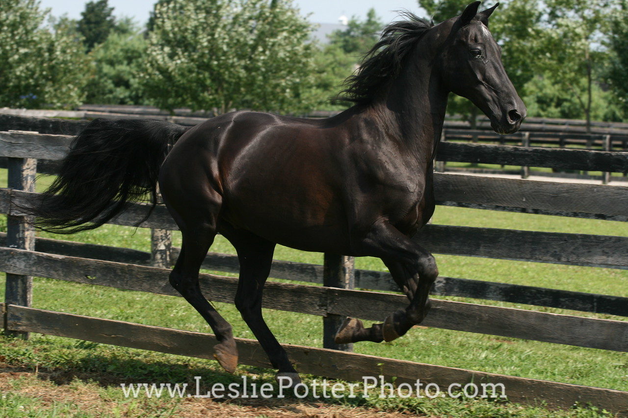 Black Morgan Horse Running in Field