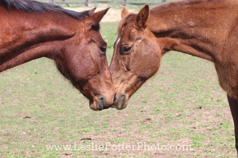 Horses Sniffing Noses