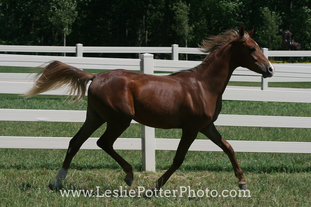 Chestnut Yearling Arabian Horse