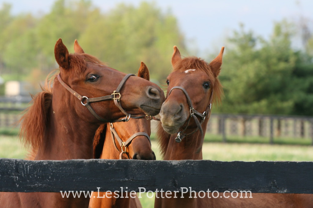 Yearling Saddlebred Horses