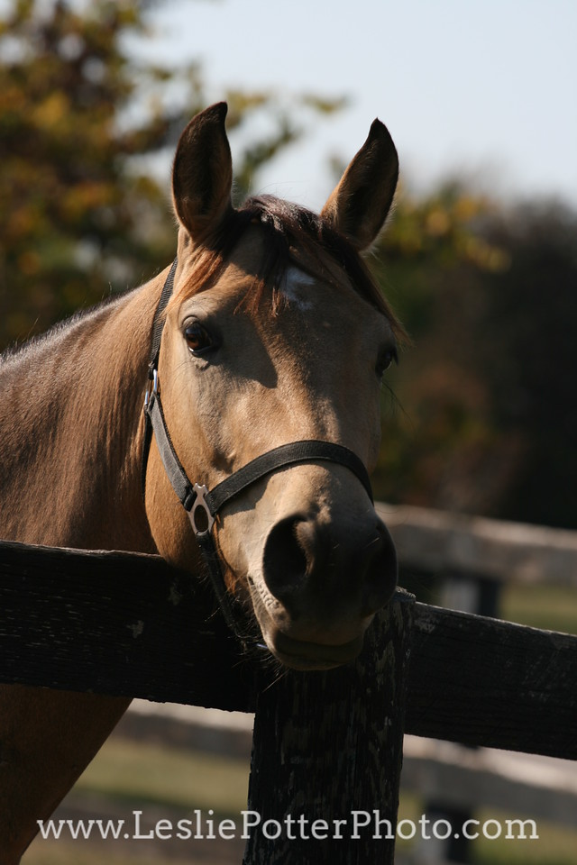 Buckskin Quarter Horse Looking Over Fence