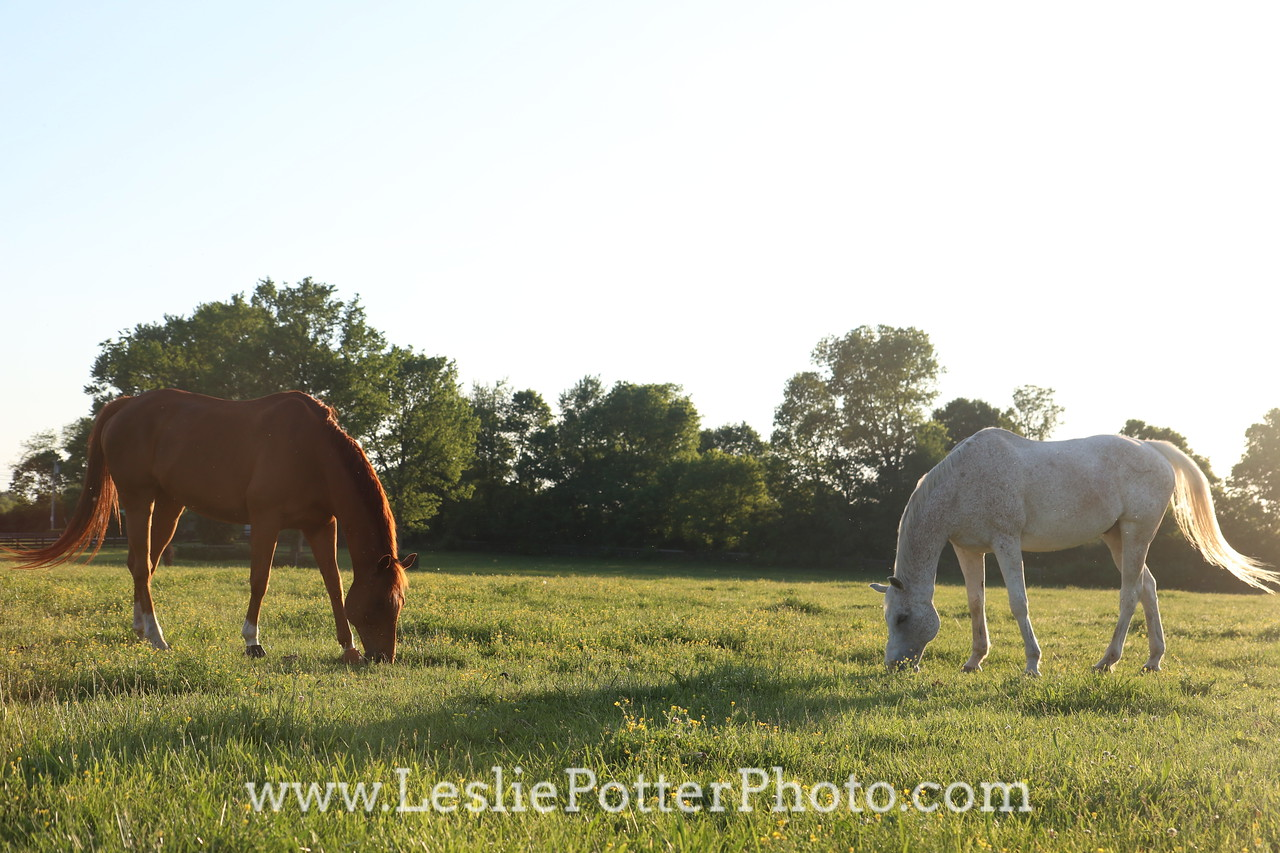 Two Horses Grazing Together at Dusk