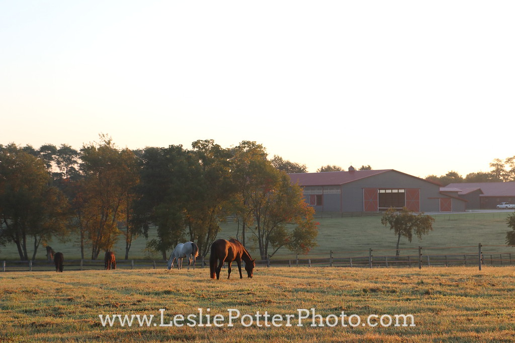 Horses grazing in the pasture in the morning