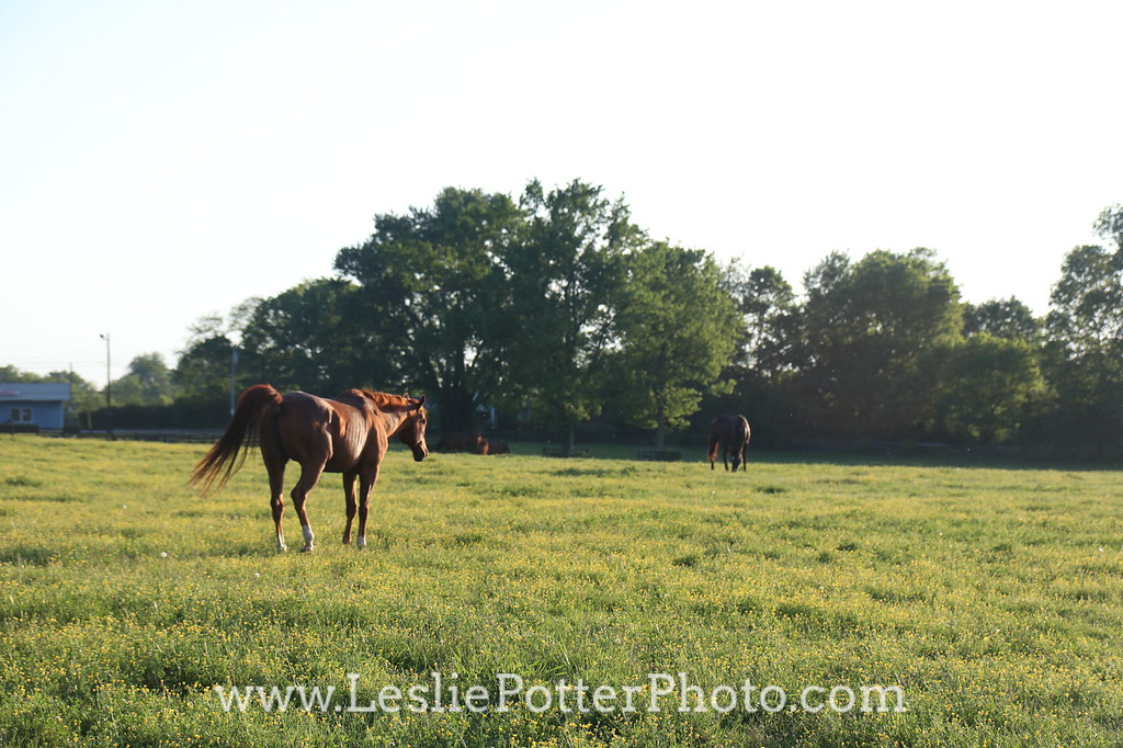 Horse Walking in the Pasture at Dusk