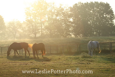 Horses Grazing in Sunrise