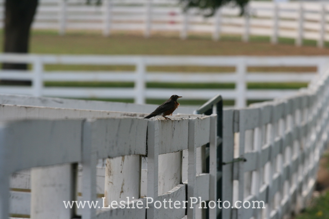 Bird on White Horse Fencing