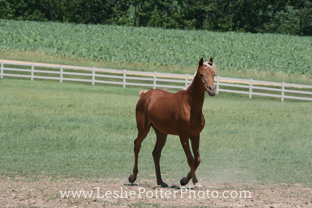 Yearling Arabian Horse