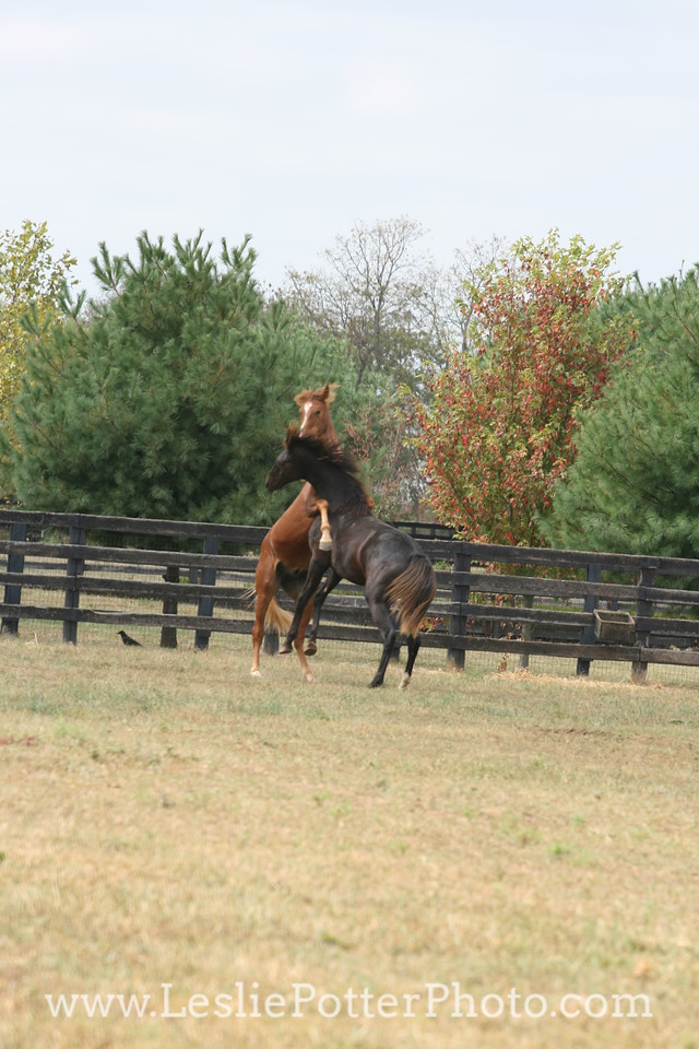 Yearling Horses Playing