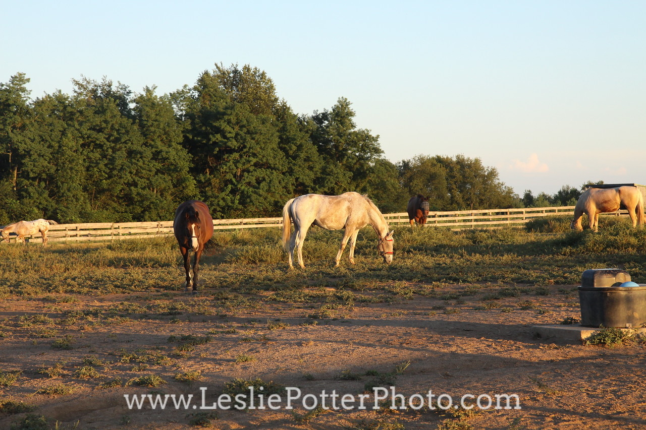 Horses Grazing in a Paddock at Sunset