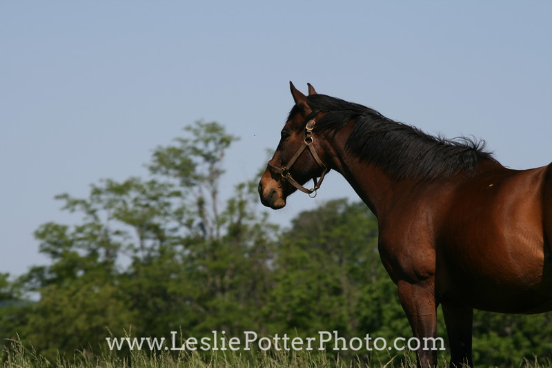 Thoroughbred Horse Standing in Pasture