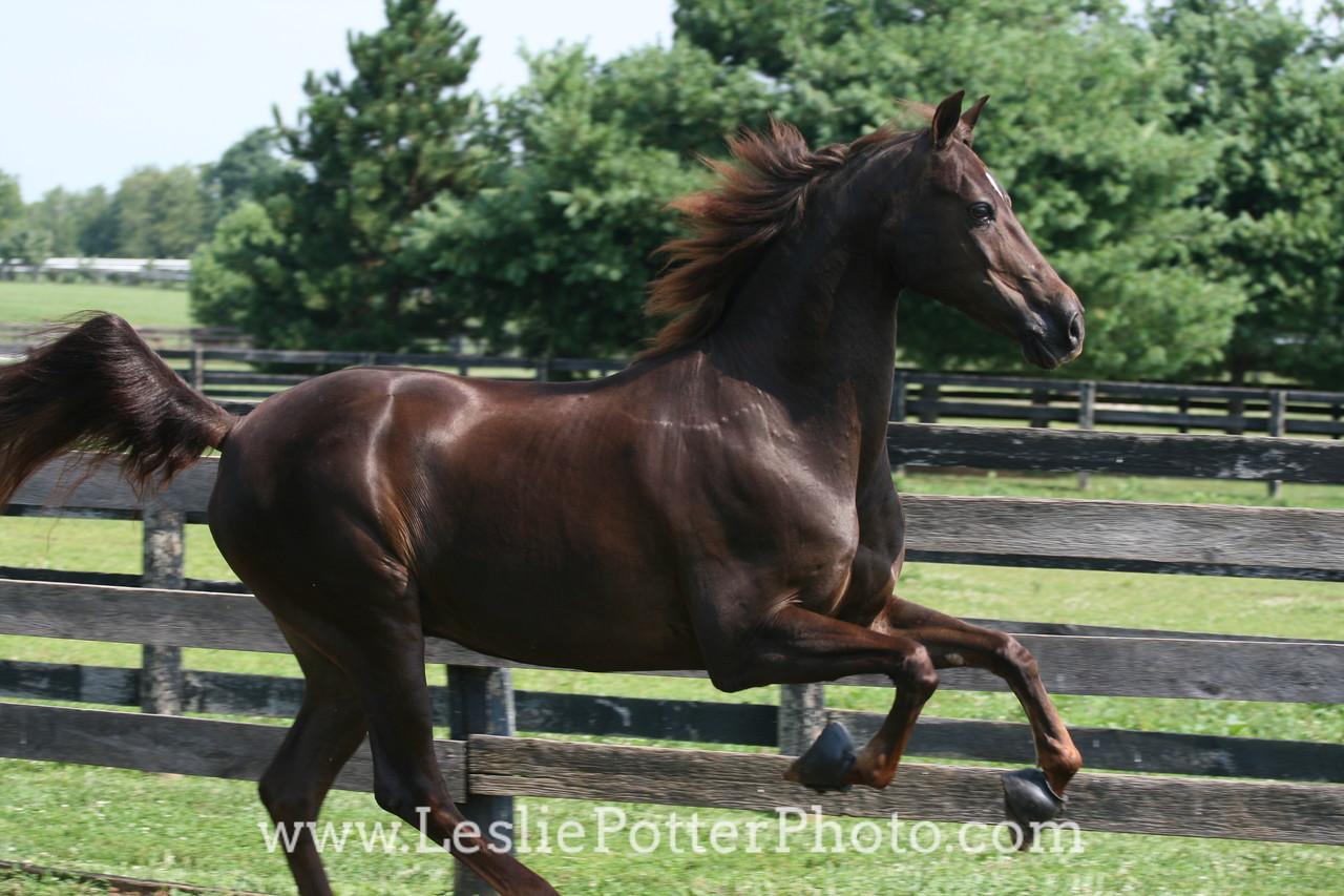 Chestnut Morgan Horse Running in Field