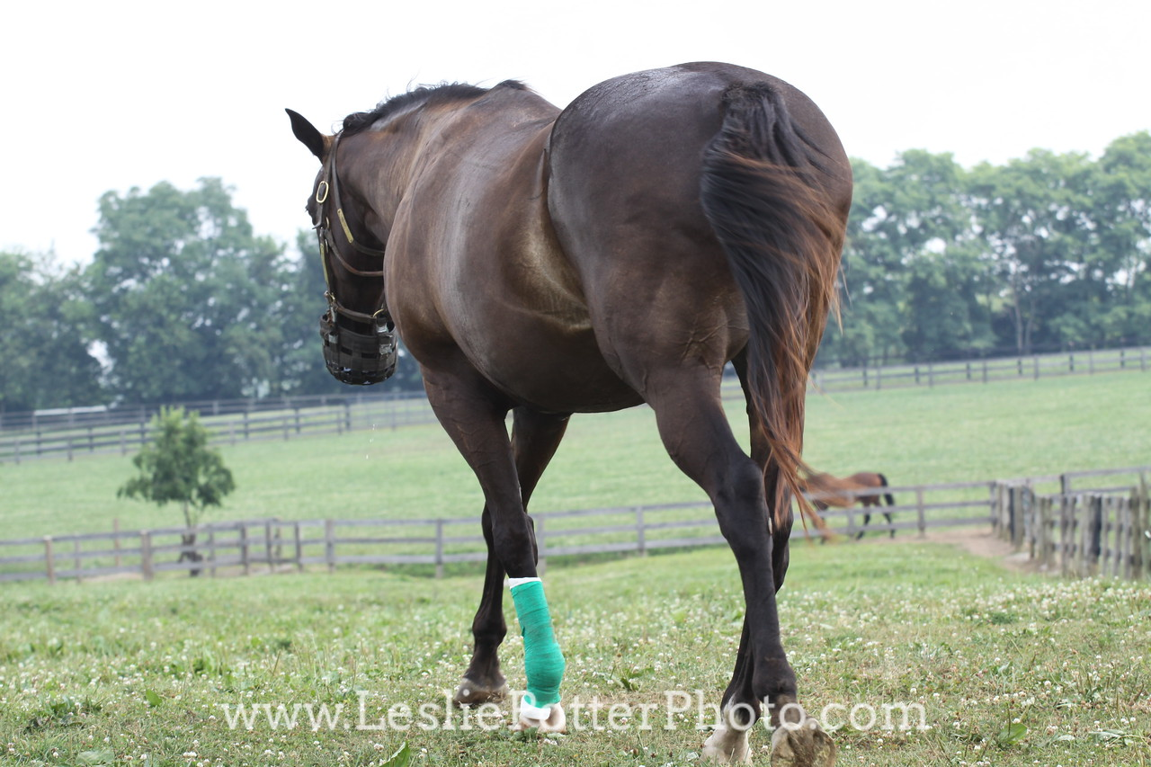 Horse with Bandaged Leg and Grazing Muzzle