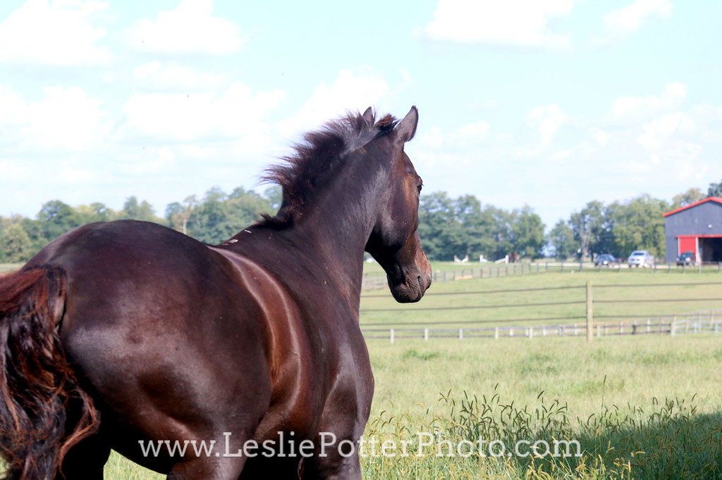 Black horse cantering in the pasture