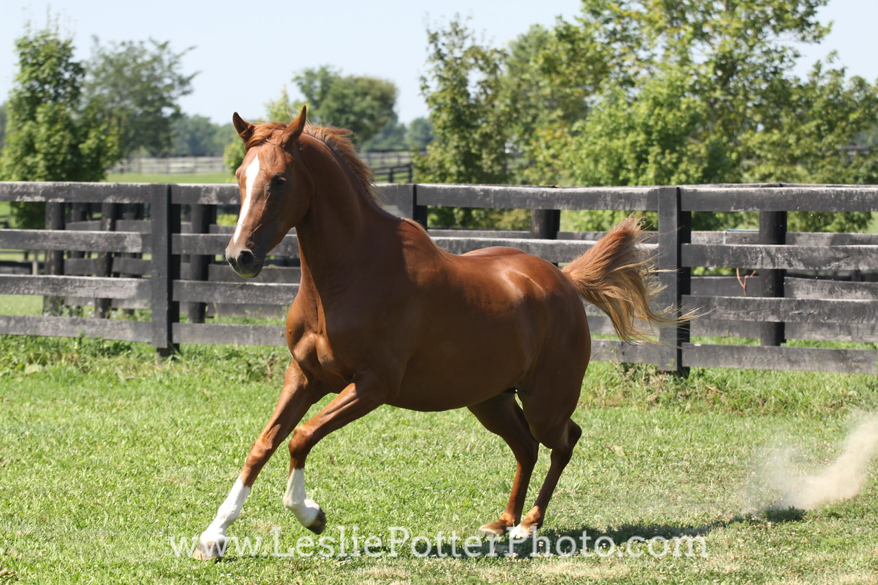Chestnut Arabian Horse Cantering in Field