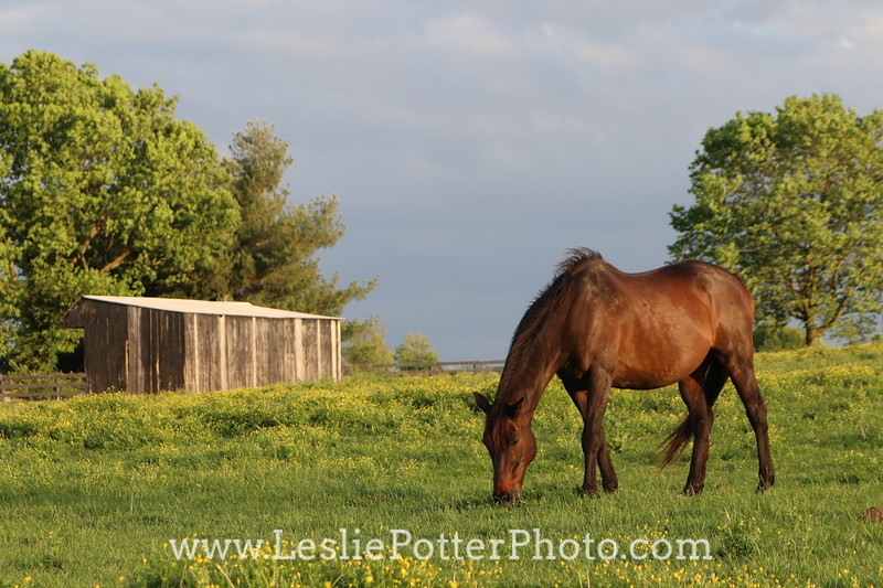 Bay Horse Grazing Outside Shelter