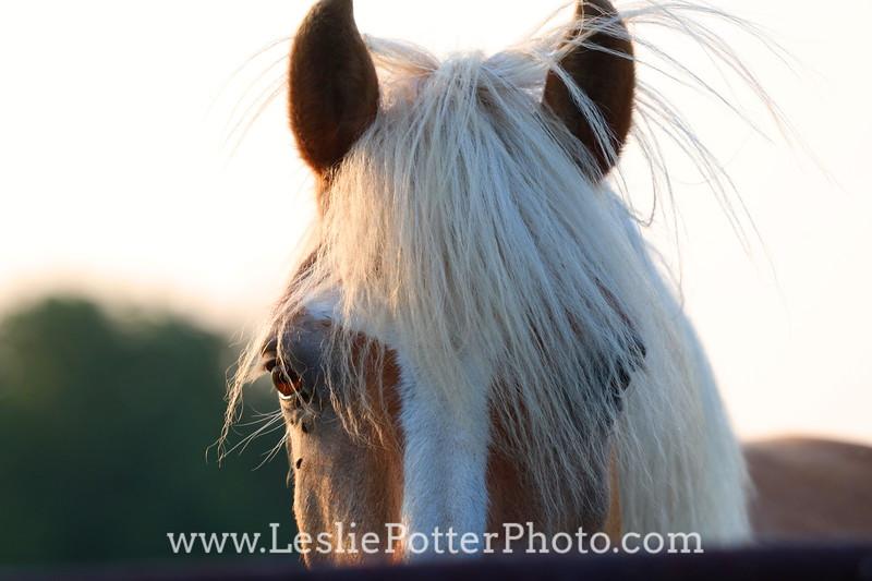 Closeup of a Haflinger Horse