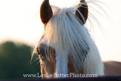 Closeup of a Haflinger Horse