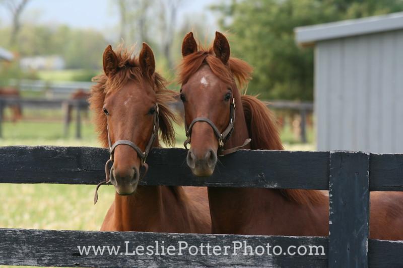 Yearling Saddlebred Horses