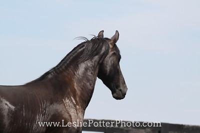 Black Friesian Horse Trotting in Field