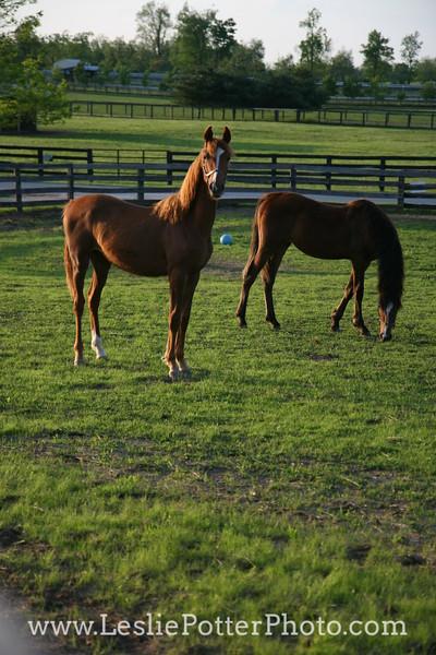 Yearling Saddlebred Horses at Sunset
