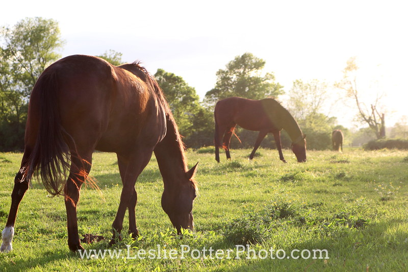 Horses Grazing in a Pasture at Sunset