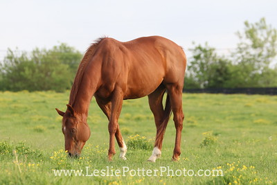 Chestnut Thoroughbred Grazing at Sunset