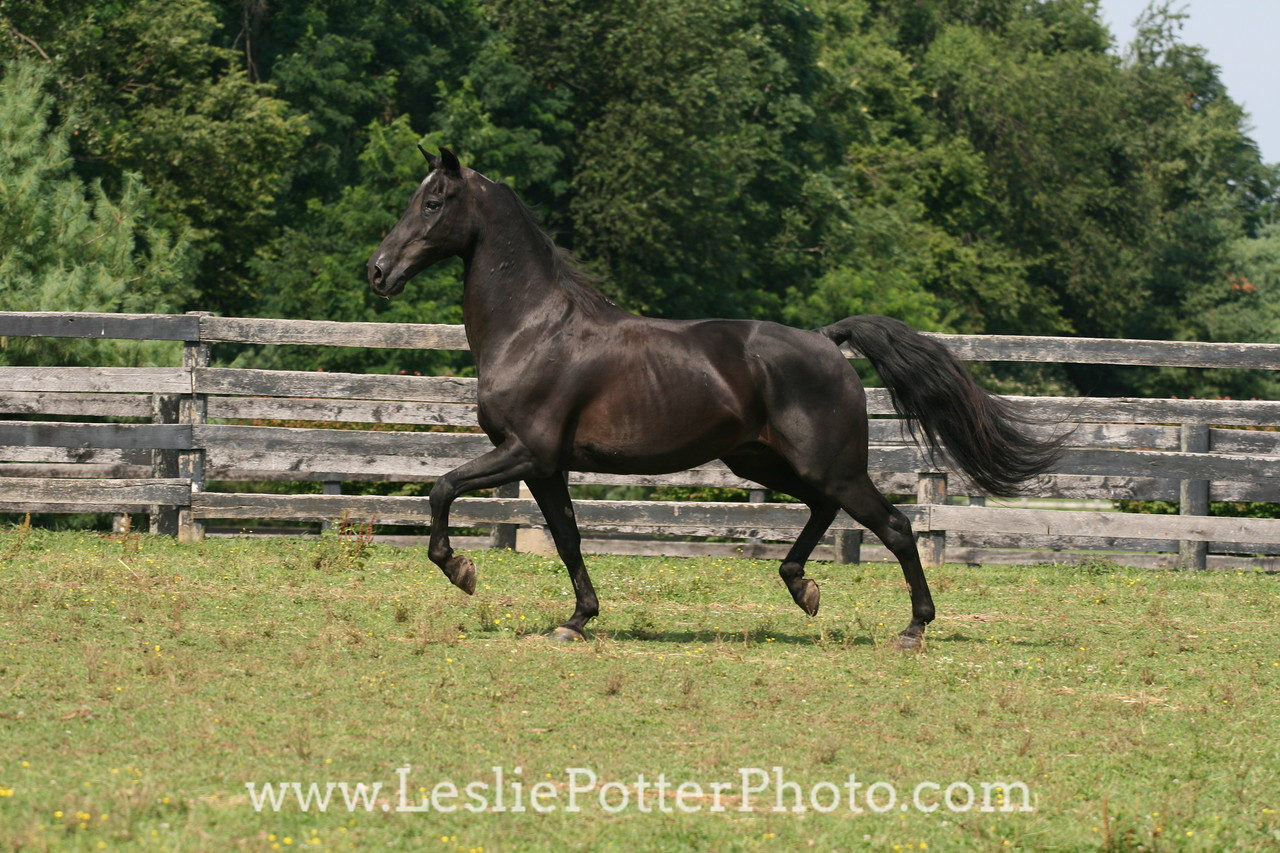 Black Morgan Horse Trotting in Field