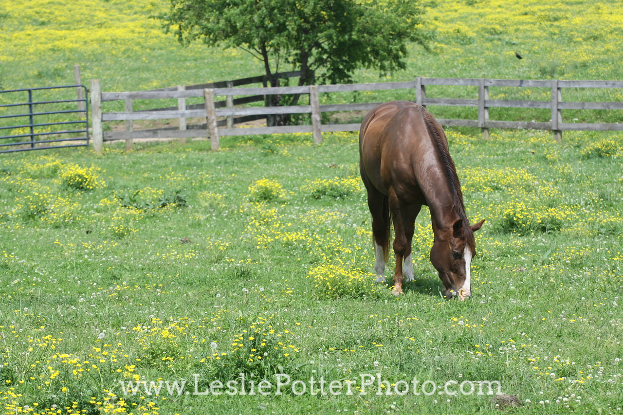 Quarter Horse Grazing in Pasture