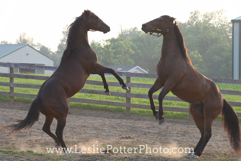 Horses Playing in a Paddock