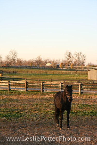 Morgan Horse in Paddock at Sunset