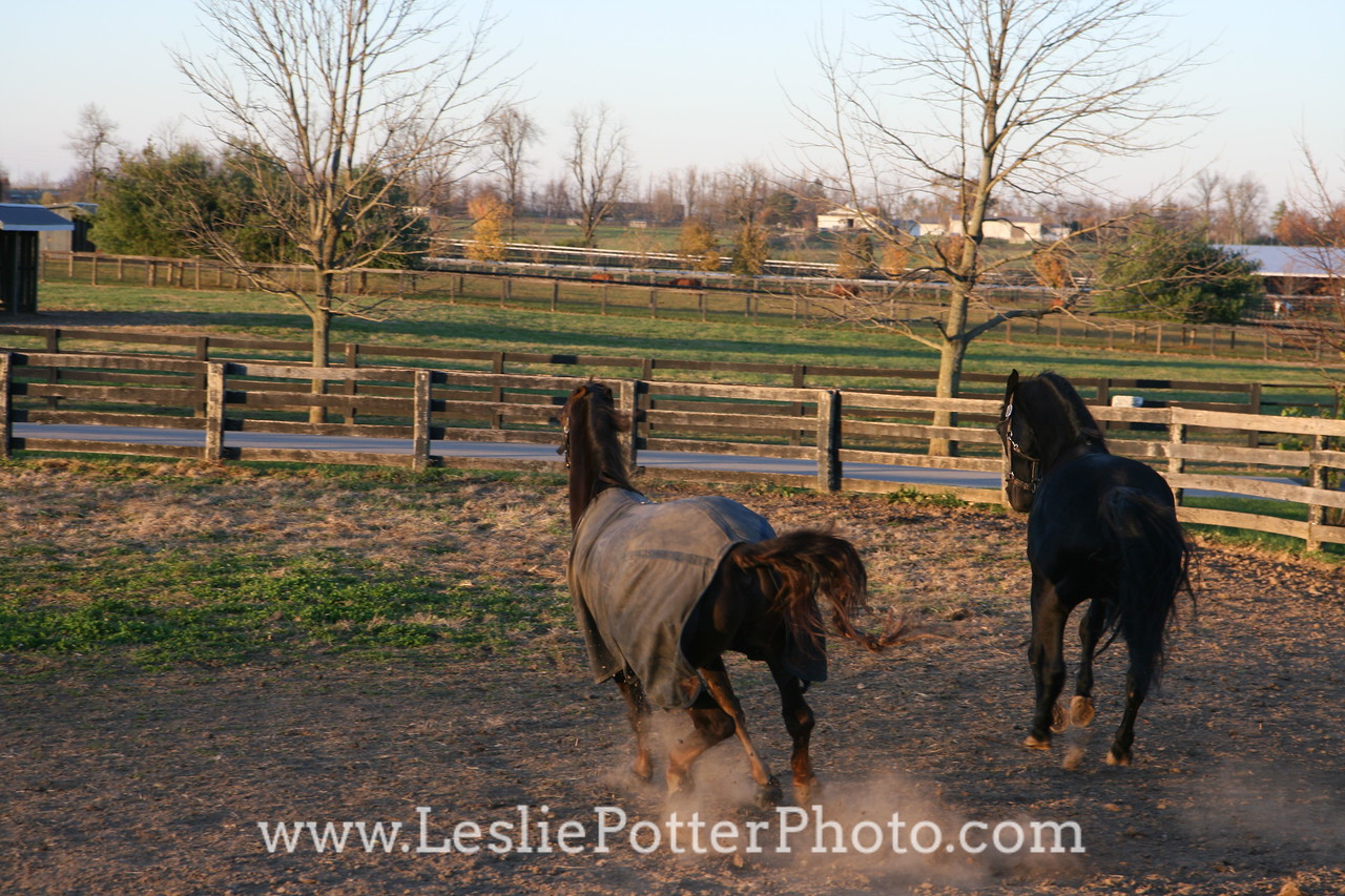 Horses Playing in Paddock