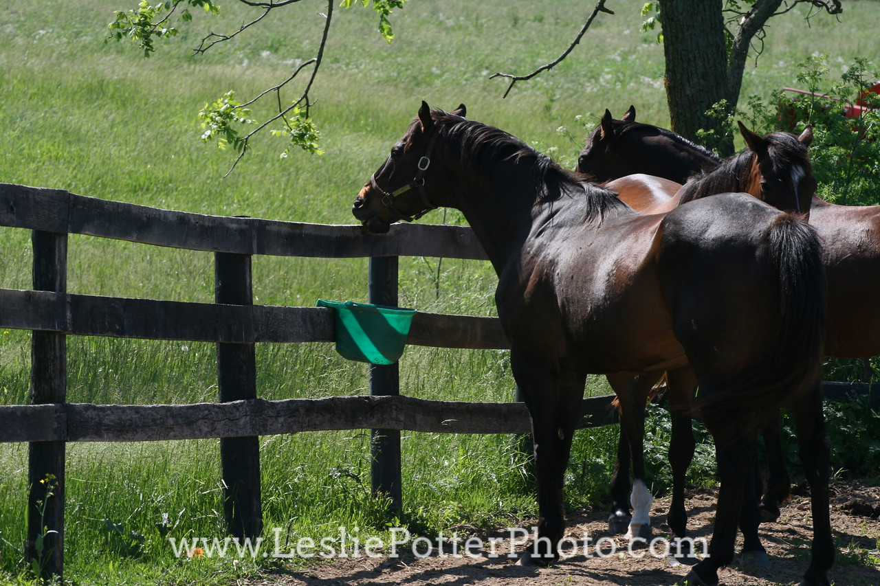 Thoroughbred Horses Hanging Out By a Fence