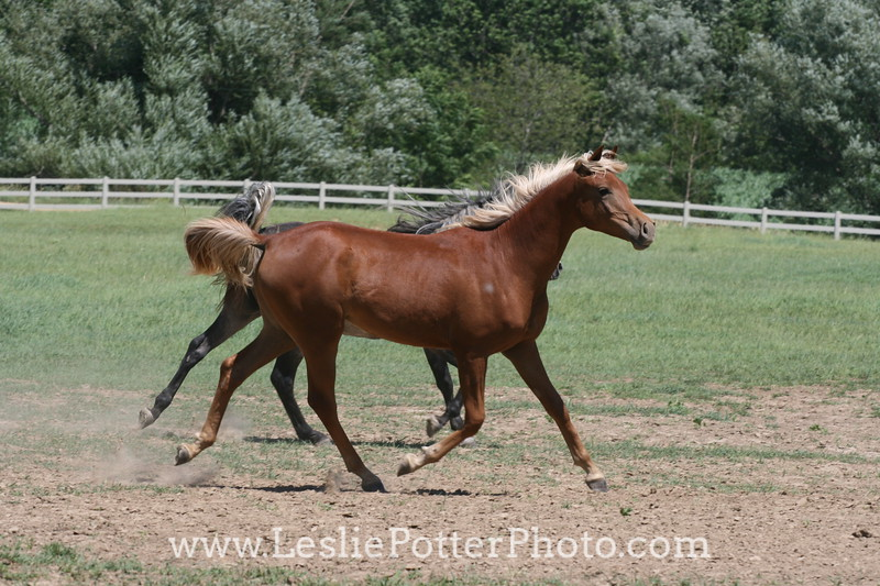 Yearling Arabian Horses Running in Field