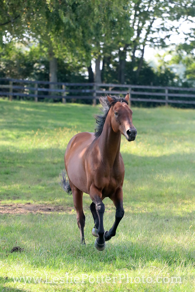 Bay Thoroughbred horse cantering in the pasture