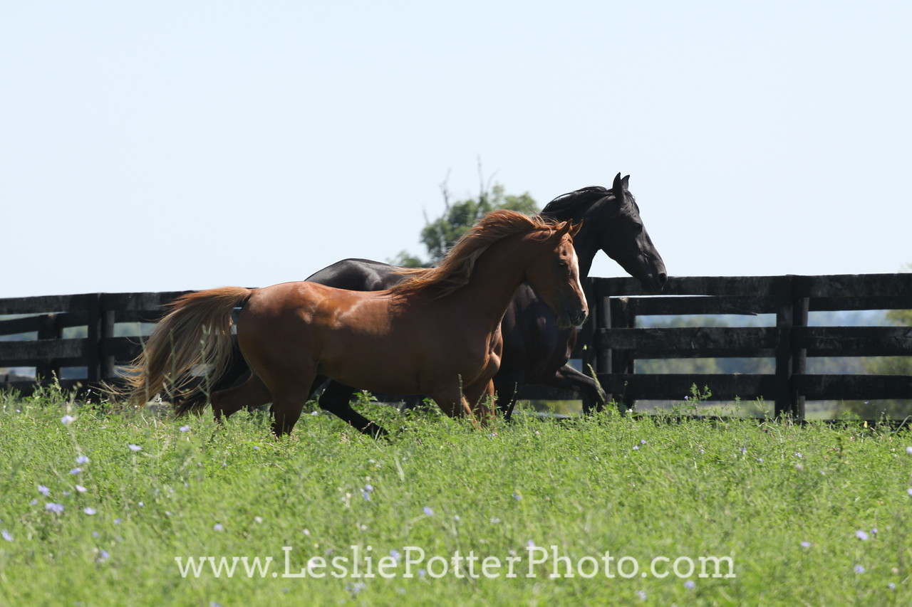 Friesian Horse and Chestnut Arabian Horse Running in Pasture
