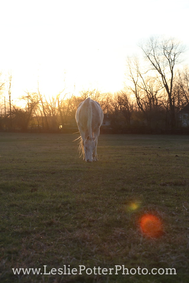 Gray Horse Grazing at Sunset