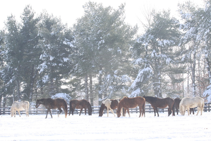 Horses in a Snowy Pasture