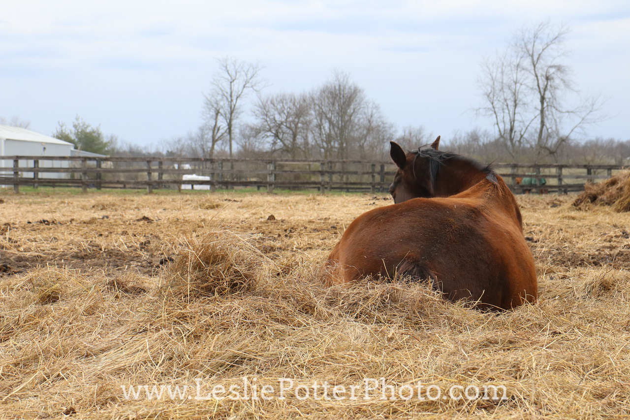Sleeping Horse Lying in a Hay Pile