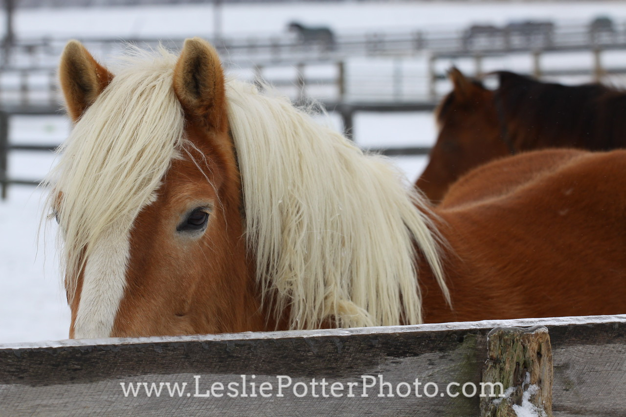 Haflinger Horse in Winter